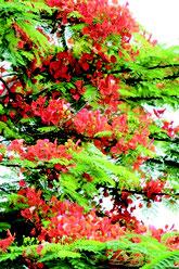 梅雨の晴れ間、オレンジ色の花を咲かせたホウオウボク=6日午後、石垣市真栄里