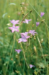 Wiesenglockenblume (Foto: Oppermann)