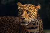 J - wie Jaguar