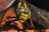 Dragonfly | Schachen