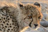 guepard afrique