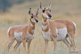 pronghorn animaux canada