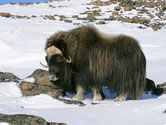 boeuf musque animaux canada