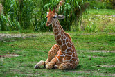 petit bebe girafe girafon