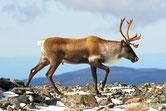 caribou animaux canada quebec