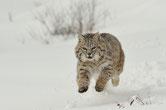 lynx roux animaux canada