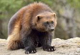 carcajou wolverine animaux quebec canada