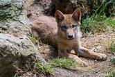 bebe loup petit louveteau