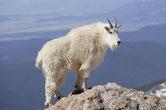 chevre montagnes rocheuses animaux canada