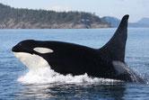 orque animaux canada