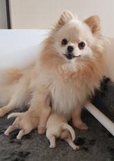 Pomeranian à deux jours