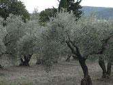 Les oliviers présents tout au long du chemin