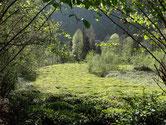 Champs de thé dans les bois