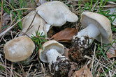 Calocybe gambosa - Tricholome de la St Georges