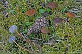 Strobilurus tenacellus - Collybie à pied tenace