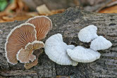 Schizophyllum commune - Schizophylle commun
