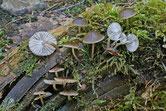 Mycena flos-nivium - Mycène fleur de neige