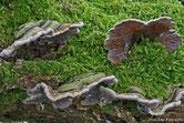 Auricularia mesenterica - Auriculaire mésentérique
