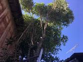 伐採中の金木犀