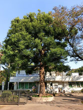 ●五日市街道から小金井公園に入り、少し進むと右手に大きなクスノキが。その後ろにサービスセンターがあります