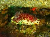 nudibranche, rouge bordeaux, papilles, blanches, bordure, liseré jaune