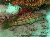 poisson, lignes, horizontales, points rouges