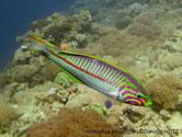 poisson, rayé, couleurs vives