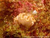 Nudibranche, roux, taches blanches, bordure blanche bord roux externe