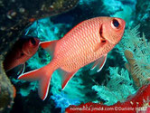 poisson, rouge rose, nageoires, bande rouge, liseré blanc