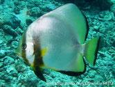 Poisson, comprimé, ronds, argenté, jaunâtre, 2 bandes noires verticales, nageoires jaunes, bordure noire