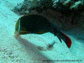 poisson, joue, barré, ligne, oblique, turquoise