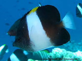 poisson, noir, bande blanche