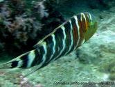 poisson, grun grisâtre rayé blanc, gorge rouge