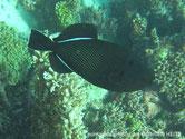poisson ovale, noir, traits blancs