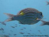 poisson, rose argenté, lignes, jaunes, tache jaune