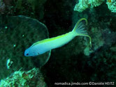 poisson, allongé, fin, bleu, jaune, oeil,  ligne noire oblique