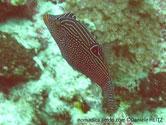 poisson, court, trapu, orangé à brun rouge, couvert de points bleu vert, tête, masque, lignes bleu vert, ocelle noir, cerclé vert bleu, base, nageoire dorsale