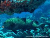 poisson, jaune pâle, points noirs, nageoires noires