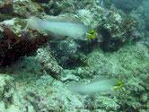 poisson, allongé, cylindrique, gris perle, tête jaune, sous oeil,  bande bleue bordée de noir