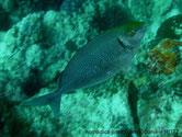 poisson, corps, olivâtre, traits bleu clair, points gris, tête, dessus jaune