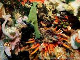 Bivalve, huître, orange,  longues dents irrégulières
