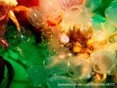 Ascidie, transparente, pédoncule, 2 taches orangées