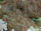 corail anémone, disque, plat, tentacules, disque oral