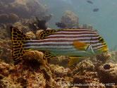 poisson, lignes horizontales brun foncé, nageoires jaunes, taches brunes