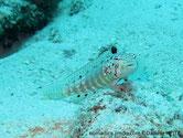 poisson, corps allongé, dorsale, crête, tache noire