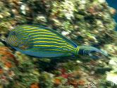 poisson, rayé jaune bleu