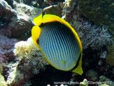 poisson, blanc, jaune, lignes obliques