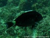 poisson, ovale, sombre, queue, marge croissant bleu