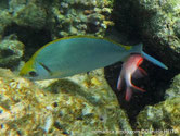poisson, bleu verdâtre, tête, jaunâtre