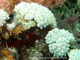 Ascidie, petits sacs blanchâtres, siphons, corolle transparente, petits points blancs